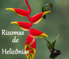 banner heliconia